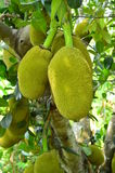 Jack fruit. The young green jack fruit on the tree Royalty Free Stock Photo