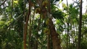 Jack fruitboom in mijn Landbouwbedrijf Royalty-vrije Stock Foto's