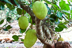 Jack fruits Royalty Free Stock Images