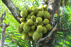 Jack Fruits. Large number of natural jack fruits growing on a jack fruit tree without any fertilizers, in india Royalty Free Stock Photography