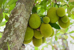Jack Fruits. A tree branch full of jack fruits Stock Image