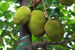 Jack fruits. A tree branch full of jack fruits Royalty Free Stock Images