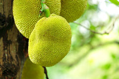 Jack fruits Royalty Free Stock Image