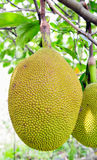 Jack fruits Royalty Free Stock Photos