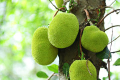 Jack fruits Stock Photography
