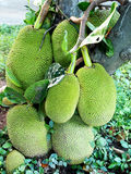 Jack fruits. Stock Photos