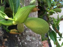 Jack fruits on branch. Selective focus of small jack fruits on branch Stock Photography