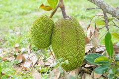 Jack fruits hanging on the tree Stock Image