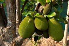 jack fruits plentifully tree Stock Photos