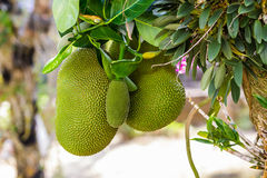 Jack fruits on  the tree Royalty Free Stock Photos