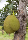 Jack fruits Royalty Free Stock Photo