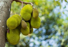 Jack fruits Royalty Free Stock Photography