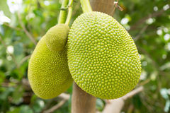 Jack fruits on tree Royalty Free Stock Images