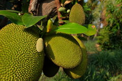 jack fruits on the tree close up Royalty Free Stock Image