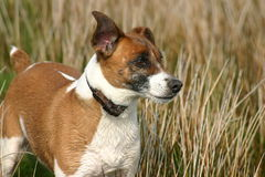Jack in the grass. Jack russell in the rushes Royalty Free Stock Photos