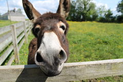 Jack the Irish donkey Royalty Free Stock Photography