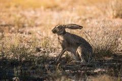 Jack-Kaninchen denkt, dass er unter Abdeckung ist Lizenzfreie Stockfotos