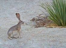 Jack królik Fotografia Royalty Free