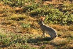 Jack królik Zdjęcie Royalty Free