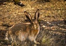 Jack królik Fotografia Stock
