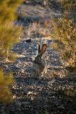 Jack królik w pustyni Zdjęcie Royalty Free
