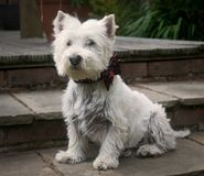 Jack le westie Photos stock