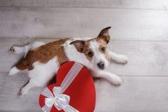 Jack lindo Russell Terrier Día del `s de la tarjeta del día de San Valentín imagenes de archivo