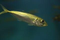 Jack mackerel Stock Photos
