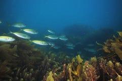 Jack mackerels among sea weeds. School of jack mackerel Trachurus novaezelandiae swimming above sea weeds Stock Photography