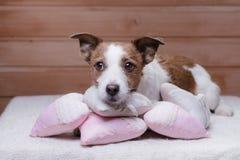 Jack mignon Russell Terrier Jour du `s de Valentine Images libres de droits