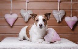 Jack mignon Russell Terrier Jour du `s de Valentine Images stock