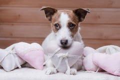 Jack mignon Russell Terrier Jour du `s de Valentine Photographie stock libre de droits