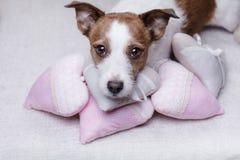 Jack mignon Russell Terrier Jour du `s de Valentine Image libre de droits