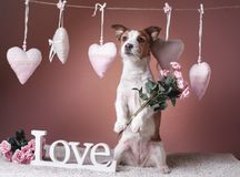Jack mignon Russell Terrier Jour du `s de Valentine Image stock