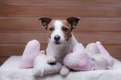 Jack mignon Russell Terrier Jour du `s de Valentine Photo stock