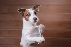 Jack mignon Russell Terrier Jour du `s de Valentine Photos libres de droits