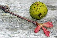 Jack Narrows Mystery Grape con il germoglio di foglia della quercia Immagini Stock