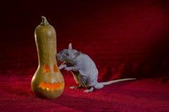 Jack-o'-lantern e ratto Immagini Stock