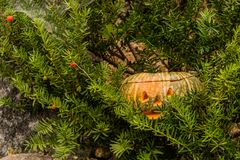 Jack-O-Lantern hiding in evergreen tree. Close up of Jack-O-Lantern hiding in evergreen tree next to large boulder Stock Photo