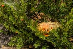 Jack-O-Lantern hiding in evergreen tree Stock Photo