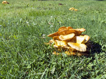 Jack O Lantern Mushroom Royalty Free Stock Photography