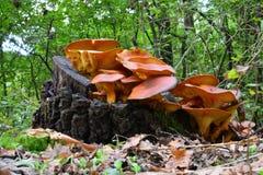 Jack O'Lantern mushrooms Stock Images