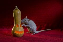 Jack-o'-lantern and rat. Stock Images