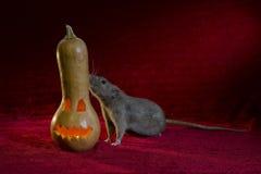 Jack-o'-lantern and rat. Rat and Halloween holiday symbol - light Jack-o'-lantern Stock Photos