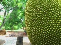 Jack owoc Obraz Stock