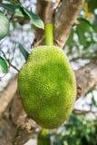 Jack owoc na bacjground Zdjęcie Stock