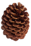 Jack pine cone Stock Photography