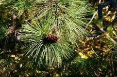 Jack Pine Cone Photos stock