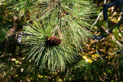 Jack Pine Cone. In Kelowna Stock Photos