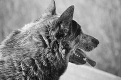 Jack preto e branco Imagem de Stock